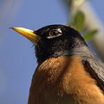 American Robin